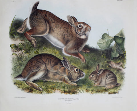 John James Audubon (1785-1851) & John Woodhouse Audubon (1812-1862), Grey Rabbit Pl. XXII