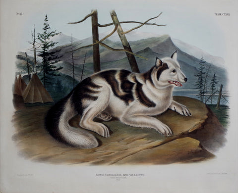 John James Audubon (1785-1851) & John Woodhouse Audubon (1812-1862), Hare-Indian Dog Pl. CXXXII