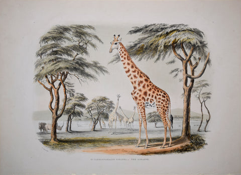 Captain W. Cornwallis Harris (1807-1848), Plate XI The Giraffe