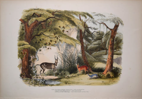 Captain W. Cornwallis Harris (1807-1848), Plate XXVI The Bushbuck