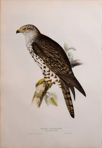 John Gould (1804-1881), Honey Buzzard