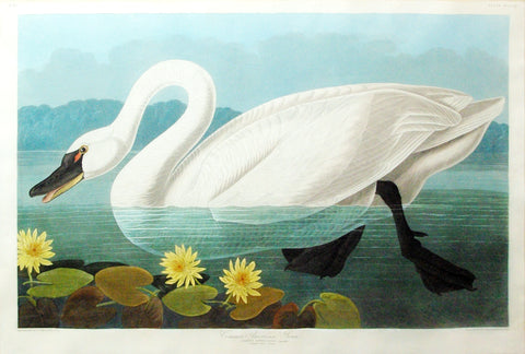 John James Audubon (1785-1851), Plate CCCCXI Common American Swan