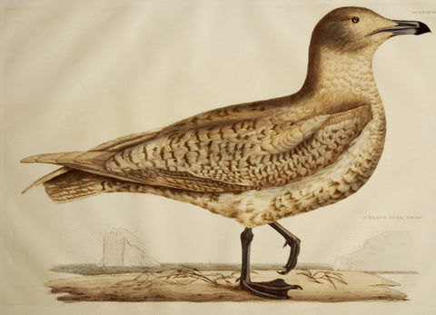 Prideaux John Selby (1788-1867), Iceland Gull Young Plt XCVIII