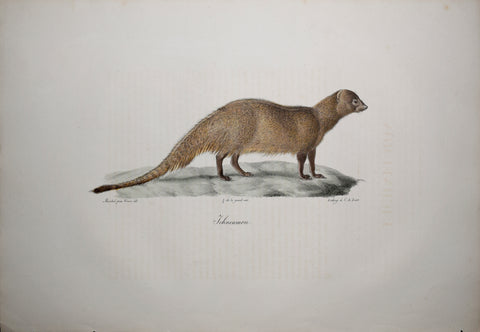 Frederic Cuvier (1769-1832) & Geoffroy Saint-Hilaire (1772-1844), Ichneumon - Egyptian Mongoose