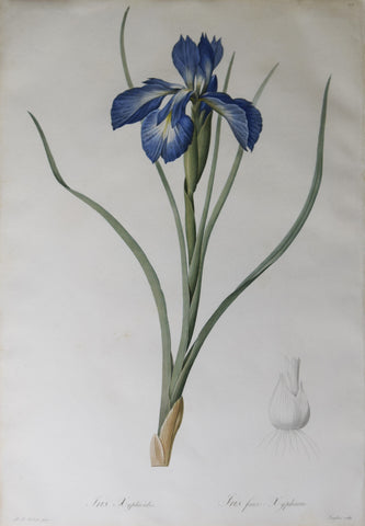 Pierre Joseph Redouté (1759-1840), English iris, Plate 212