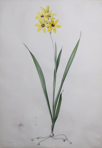 "Pierre-Joseph Redouté  (Belgian, 1759-1840), ""Brownish-yellow Ixia"" Ixia fusco-citrina"