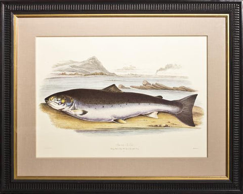 Sir William Jardine (1800-1874), Salmo trutta; Sea Trout