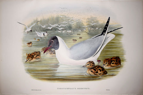 "John Gould (1804-1881), Chroicocephalus Ridibundus, ""Black Headed Gull"""