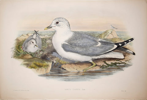 "John Gould (1804-1881), Larus Canus, ""Common Gull"""