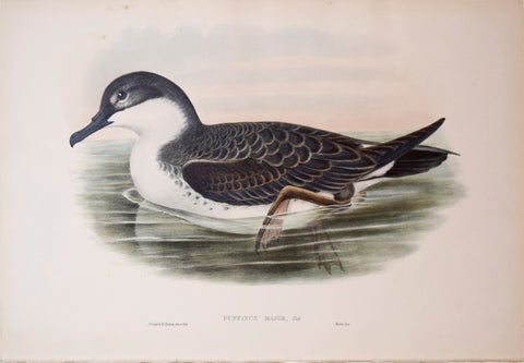 "John Gould (1804-1881), Puffinus Major, ""Great Shearwater"""