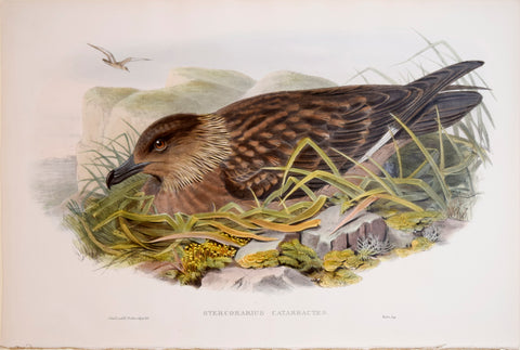 "John Gould (1804-1881), Stercorarius Catarractes, ""Great Skua"""