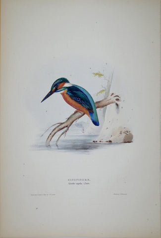 John Gould (1804-1881), Kingfisher
