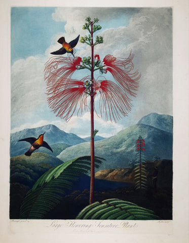 Robert John Thornton (1768-1837), Large Flowering Sensitive Plant