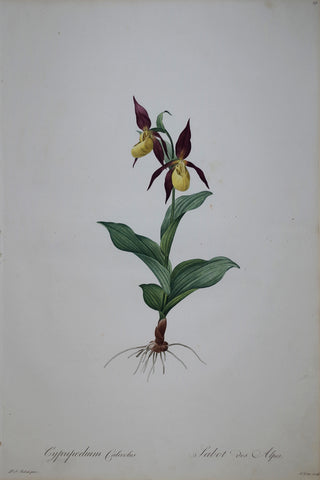 Pierre Joseph Redouté (1759-1840), Large Yellow Ladyslipper, Plate 19