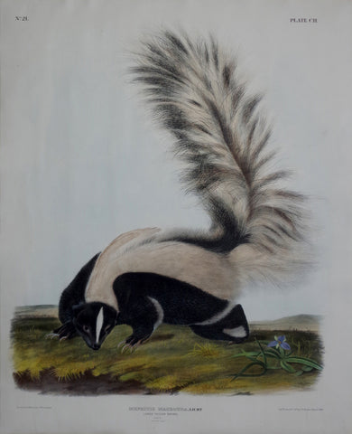 John James Audubon (1785-1851) & John Woodhouse Audubon (1812-1862), Large tailed Skunk Pl. CII