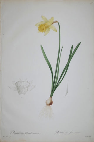 Pierre Joseph Redouté (1759-1840), Lent Lily Wild Daffodil, Plate 158
