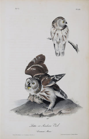 John James Audubon (American, 1785-1851), Little or Acadian Owl P33