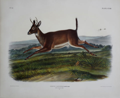 John James Audubon (1785-1851) & John Woodhouse Audubon (1812-1862), Long-tailed Deer Pl. CXVIII