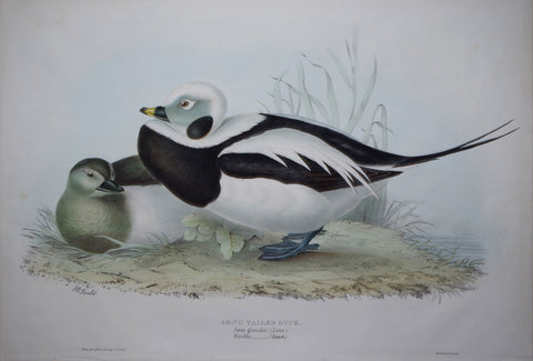 John Gould (1804-1881), Long-tailed duck
