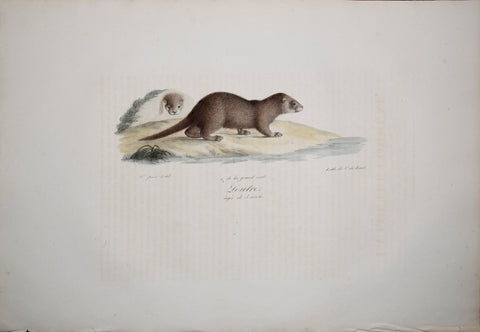 Frederic Cuvier (1769-1832) & Geoffroy Saint-Hilaire (1772-1844), Loutre - Otter
