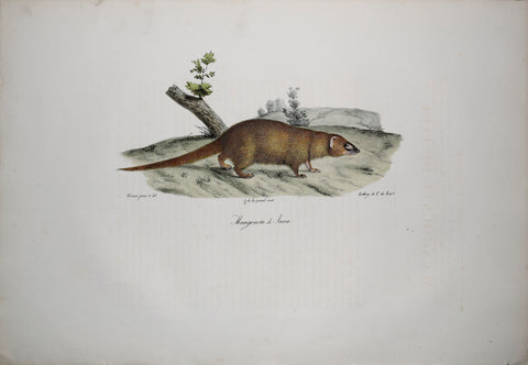 Frederic Cuvier (1769-1832) & Geoffroy Saint-Hilaire (1772-1844), Mangouste de Java - Small Asian Mongoose