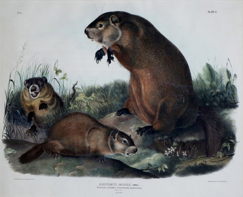 John James Audubon (1785-1851) & John Woodhouse Audubon (1812-1862), Maryland, Marmot, Woodchuck, Groundhog Pl. II