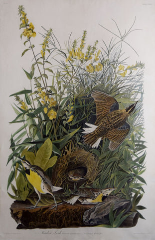 John James Audubon (1785-1851), Plate CXXXVI Meadow Lark