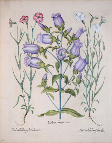 Basilius Besler (1561-1629), Medium flore purpureo