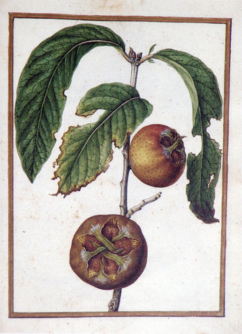 Jacques le Moyne de Morgues (French, ca. 1533-1588), Medlar