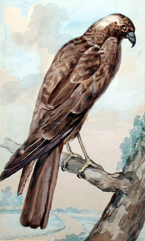 Abraham Meertens, (Dutch, 1747-1823) A Hawk or Harrier
