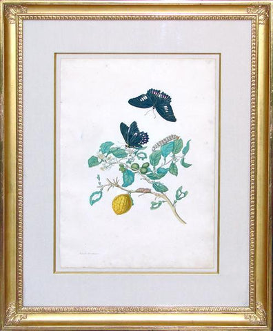 Maria Sibylla Merian (1647-1717), The Citron Tree