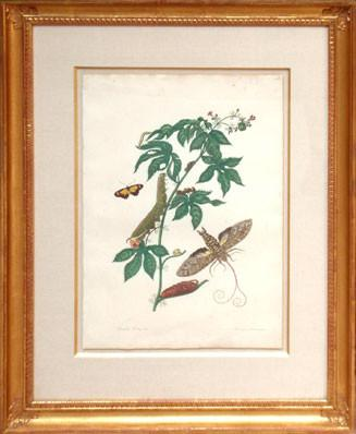 Maria Sibylla Merian (1647-1717), Cotton Leaf Jatropha and Mimicry Moth