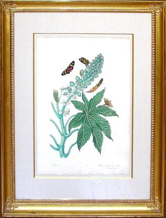 Maria Sibylla Merian (1647-1717), Racinis Butterfly and Castor Oil Plant