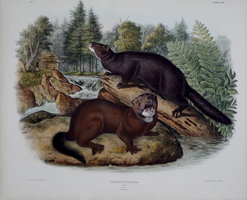 John James Audubon (1785-1851) & John Woodhouse Audubon (1812-1862), Mink Pl. XXXIII