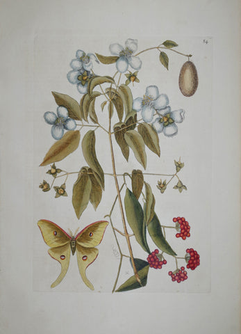 Mark Catesby (1683-1749), Mock Orange P84