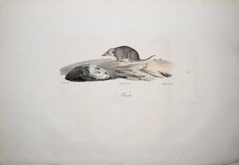 Frederic Cuvier (1769-1832) & Geoffroy Saint-Hilaire (1772-1844), Musette - Shrew