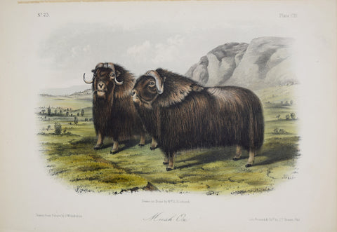 John James Audubon (1785-1851) & John Woodhouse Audubon (1812-1862),  Musk Ox Pl. CXI