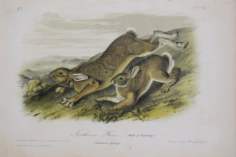 John James Audubon (1785-1851) & John Woodhouse Audubon (1812-1862), Northern Hare Pl. XI