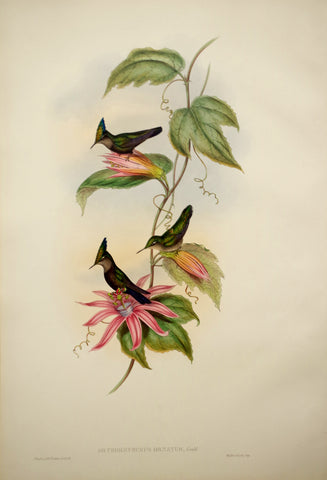 John Gould (1804-1881), Orthorhynchus ornatus