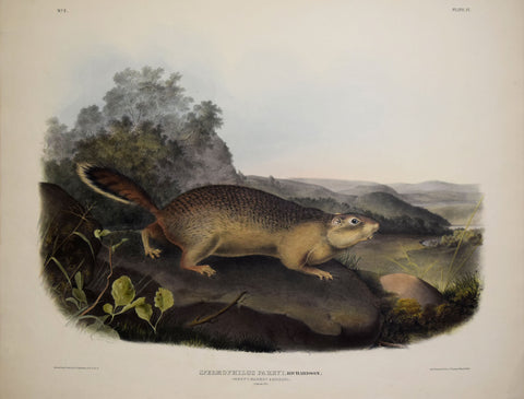 John James Audubon (1785-1851) & John Woodhouse Audubon (1812-1862), Parry's Marmot Squirrel Pl. IX