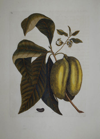 Mark Catesby (1683-1749), Paw Paw P85