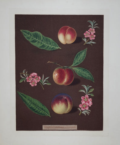 George Brookshaw (1751-1823), Peaches, Pl XXVIII