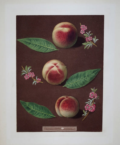 George Brookshaw (1751-1823), Peaches, Pl XXXV