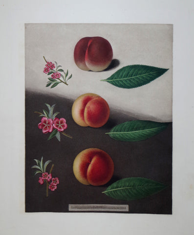 George Brookshaw (1751-1823), Peaches, Pl XXX