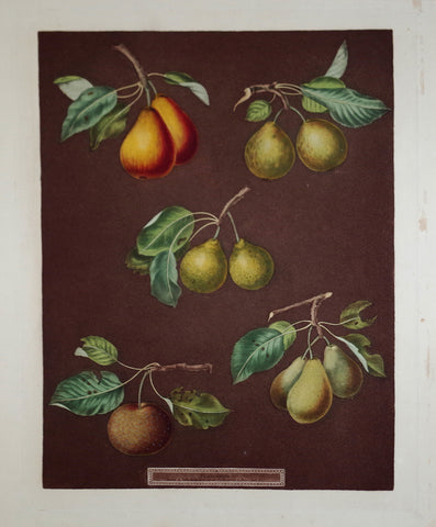 George Brookshaw (1751-1823), Pear, Pl LXXVII