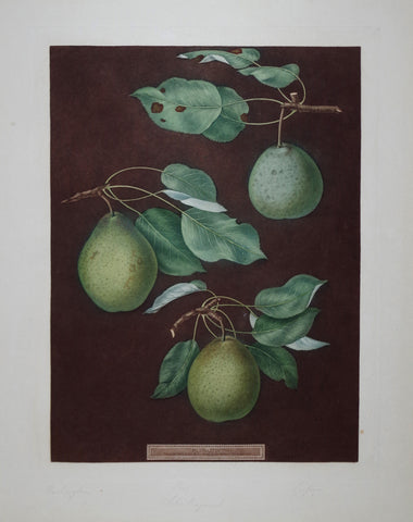 George Brookshaw (1751-1823), Pear, Pl LXXXV