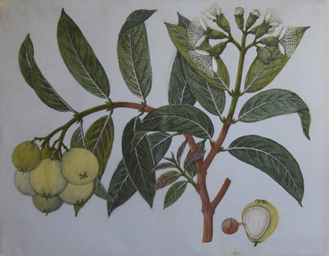 Artist Unknown (China Trade), Untitled [Green Fruit]