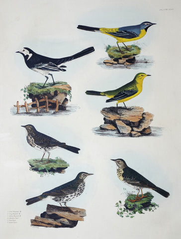Prideaux John Selby (1788-1867), Pied Grey & Yellow Wagtail...