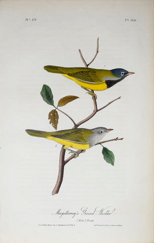 John James Audubon (American, 1785-1851), Pl 100 - Macgillvray's Ground Warbler