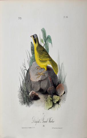John James Audubon (American, 1785-1851), Pl 103 - Delafield's Ground-Warbler